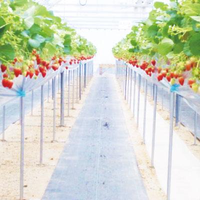 瀬戸内フルーツガーデン いちご農園